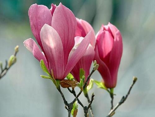 颜色为紫色,紫玉兰花朵艳丽怡人,芳香淡雅,孤植或丛植都很美观,树形